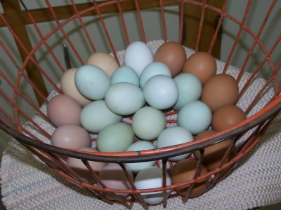http://www.macopinfarm.com/wp-content/uploads/2010/03/Blue-Green-Dark-brown-eggs.jpg