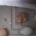 10th chick hatched 3 days later in bator.