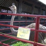 Ostrich at the fair.