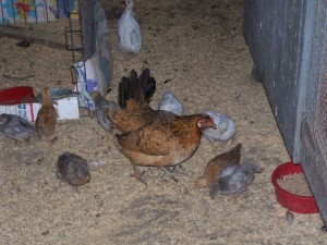 Chicks from Pete's at 5 weeks